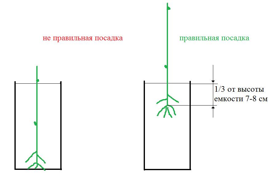схема посадки черенка