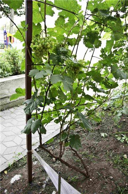 лоза винограда эдна