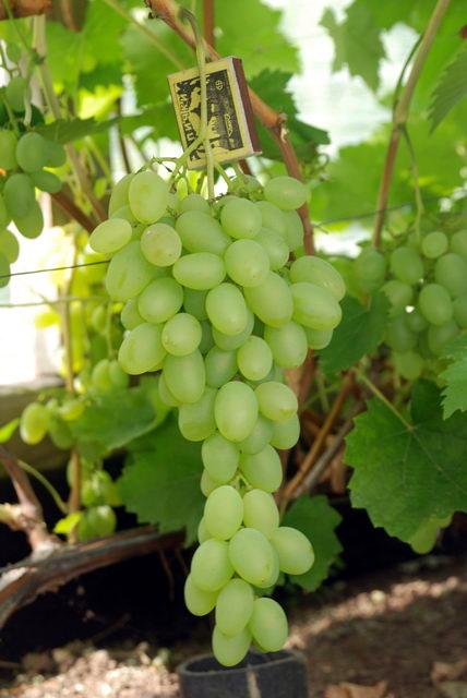 гроздь винограда Денал