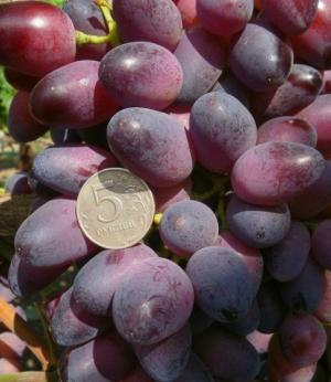ягоды винограда красотка