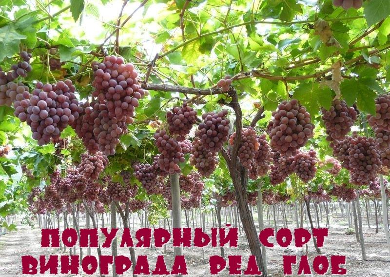 Популярный сорт винограда Ред Глоб