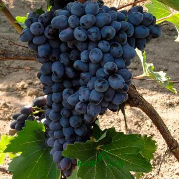 посадка винограда Чарли