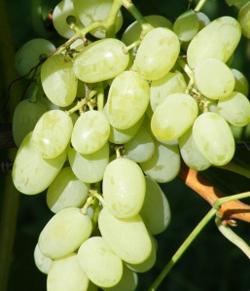 ягоды винограда феномен