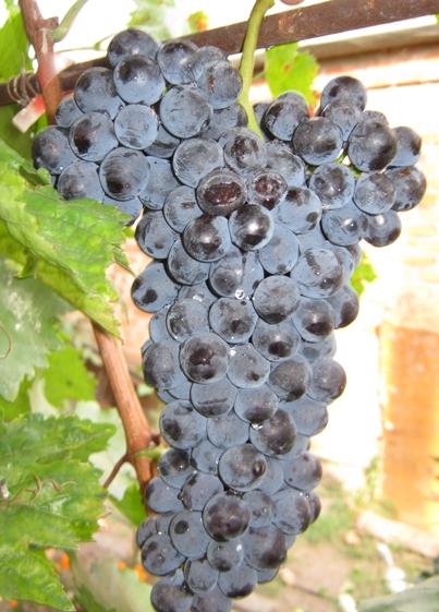 ягоды винограда Фортуна