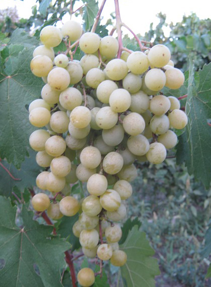 ягоды фрумоаса албэ