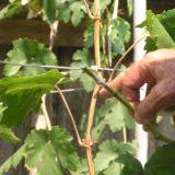 Глазок винограда и его описание