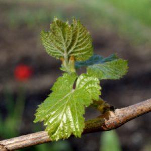 Развитие глазка винограда