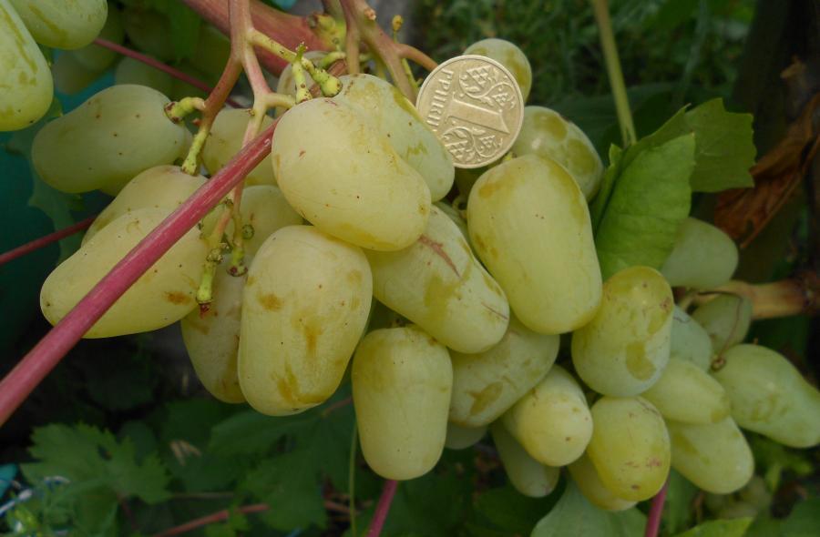 ягоды винограда гордей