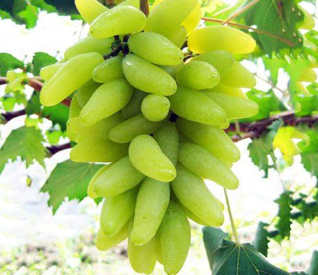 гроздь голд фингер