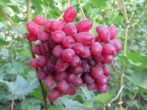 ягоды Софии