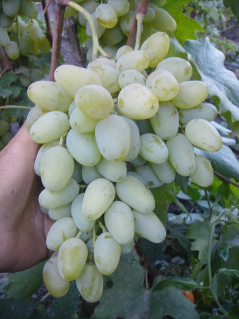 Гроздь винограда Миллениум