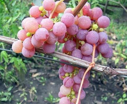 ягоды винограда рилайнс пинк сидлис