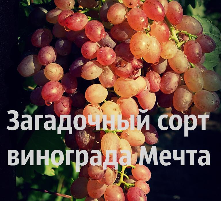 сорт винограда мечта