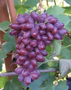 ягоды винограда Ромео