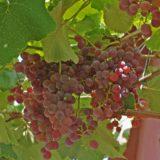 виноград Рилайнс пинк сидлис