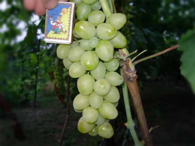 размеры кисти винограда Пульсар
