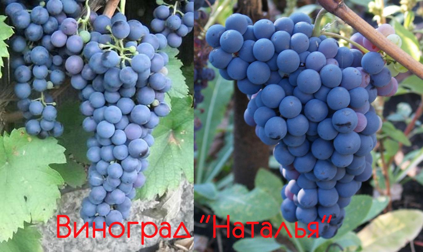 сорт винограда Наталья