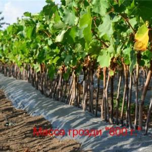 посадка саженцев виноград Наталья