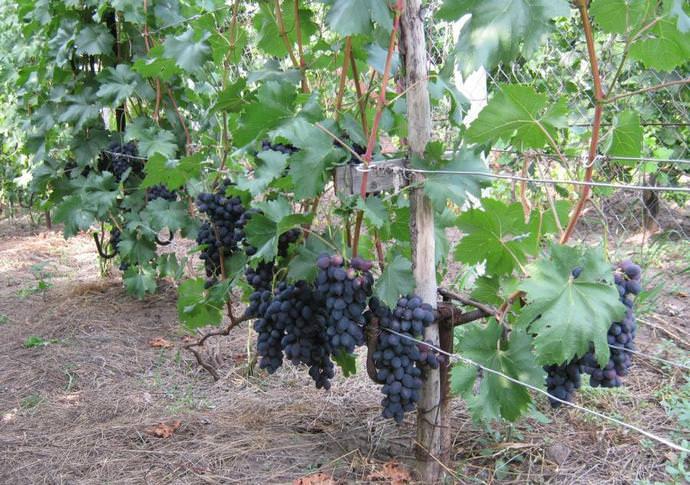 уход за виноградом забава