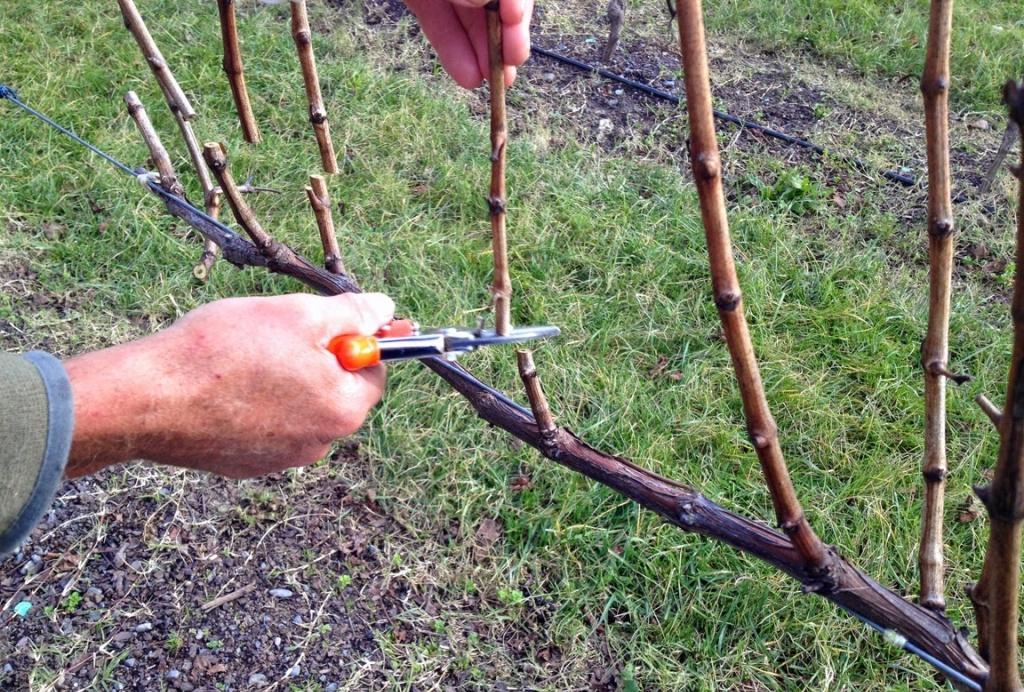 обрезка виноградных побегов