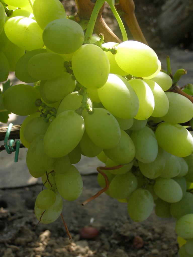 ягоды винограда вера