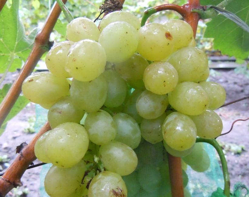 гроздь сорта Идеал