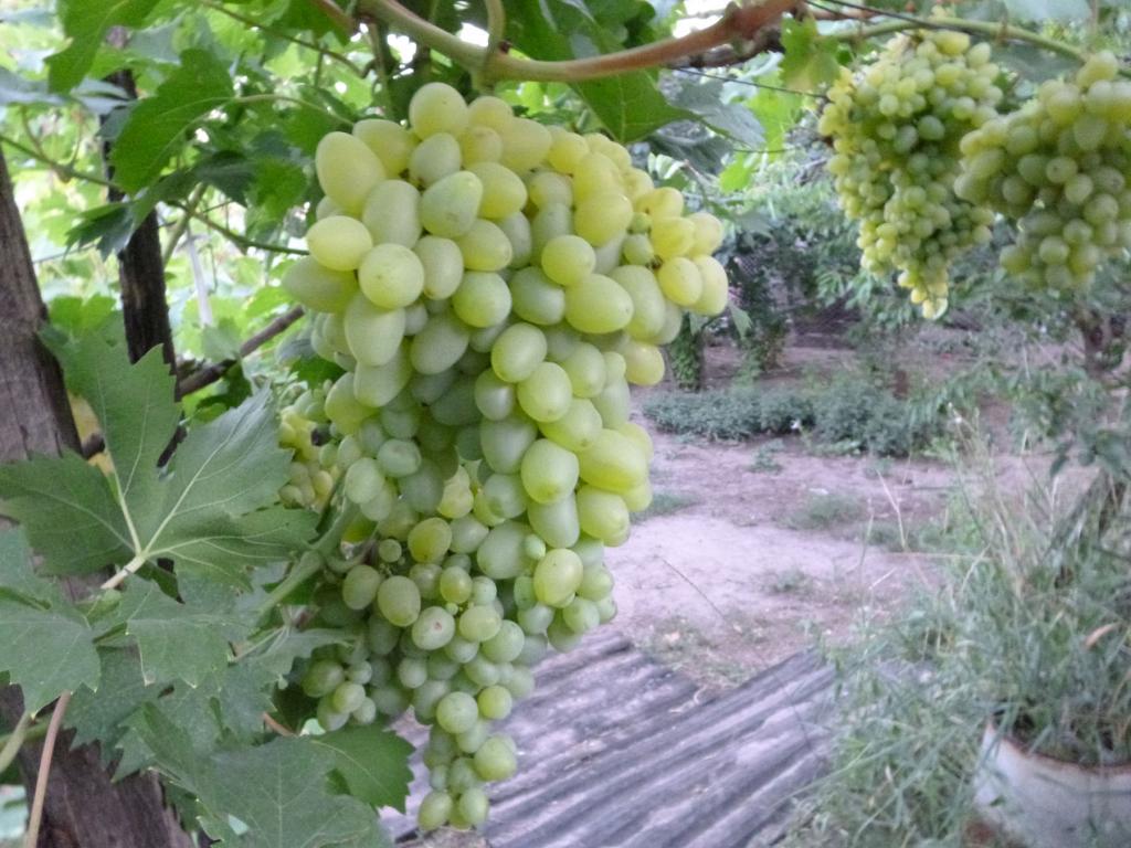 гроздь гордея
