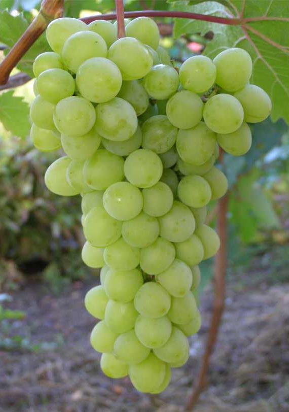 грозди винограда Прозрачный