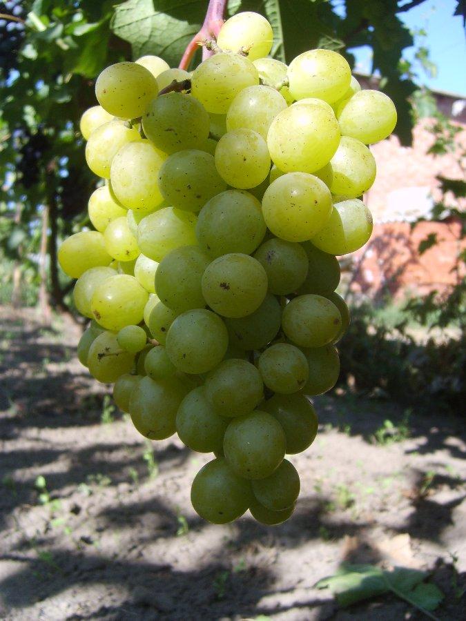 гроздь винограда фрумоаса албэ