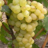 виноград вера