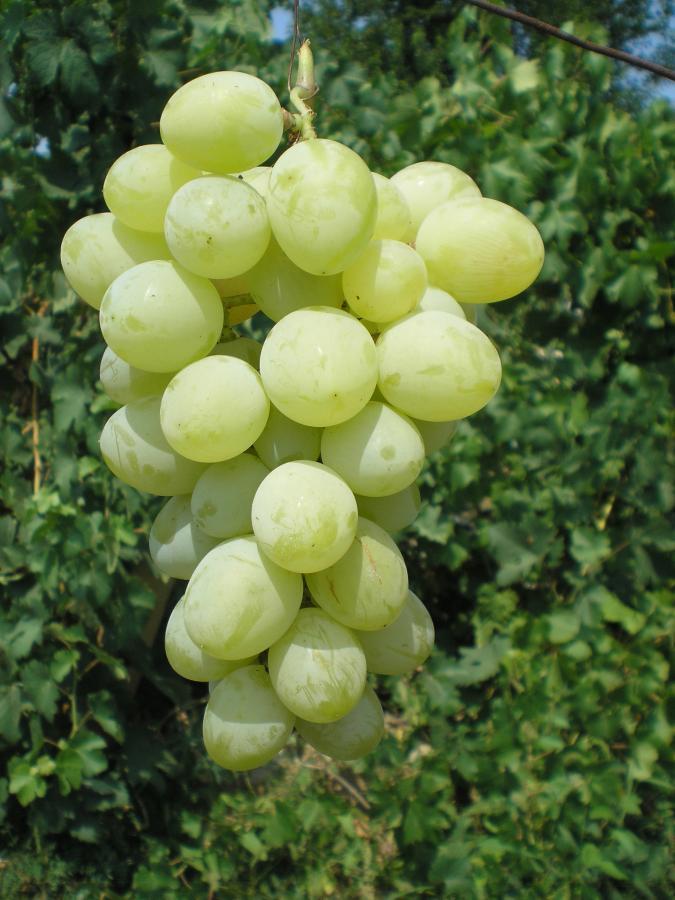 гроздь винограда вера