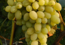 виноград феномен