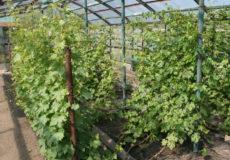 тепличный виноград