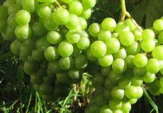 виноград Идеал