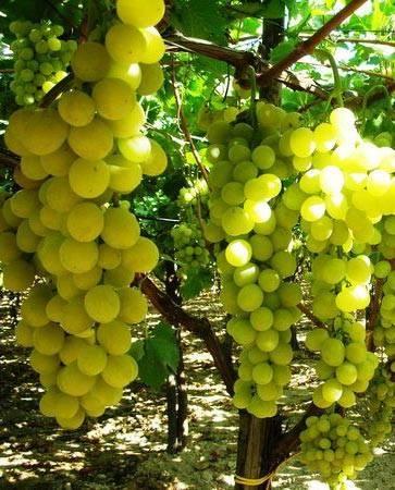 грозди сорта Лакемонт