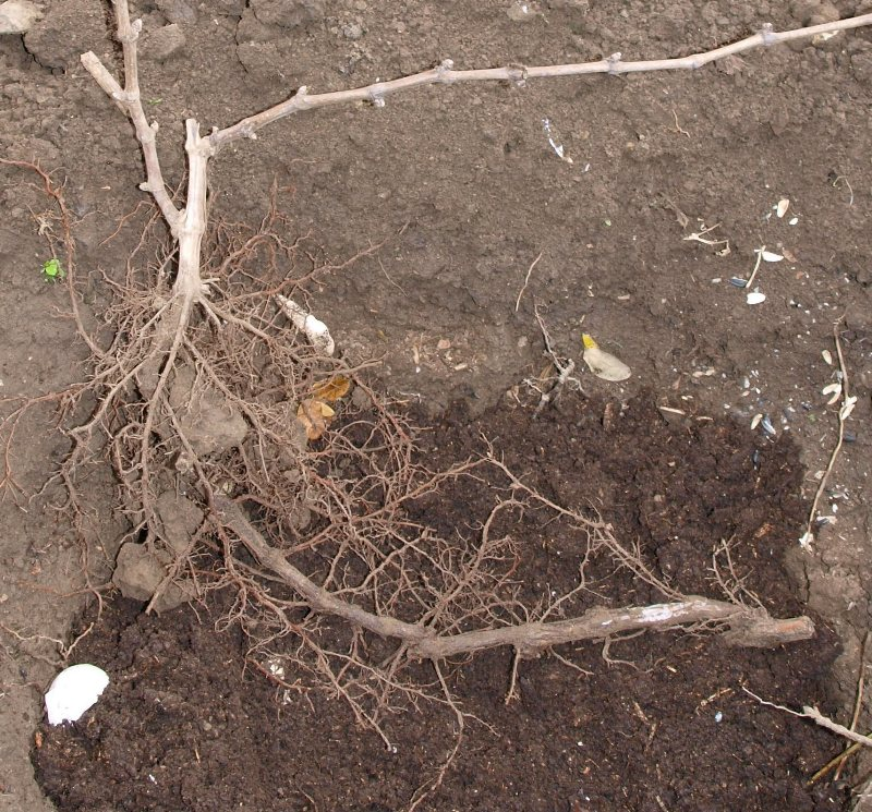 выкапывание корня винограда