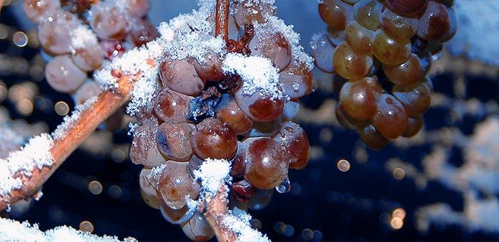 замерзание гроздей винограда
