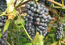 замораживание винограда