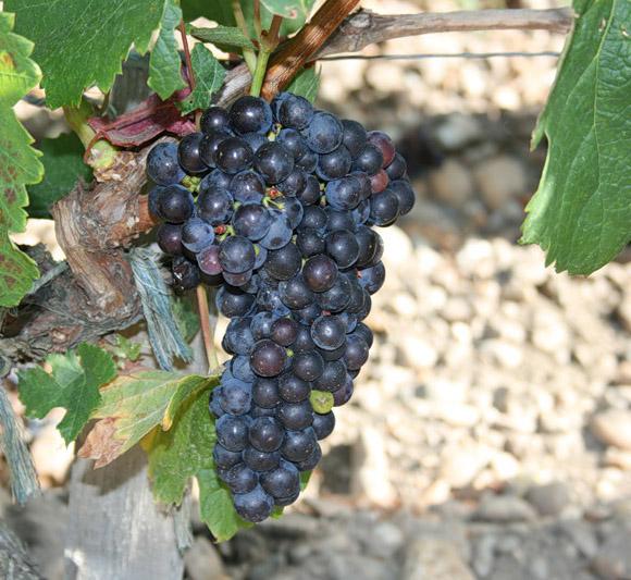 ягоды винограда адель