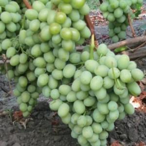 виноград бируинца описание сорта