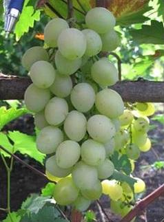 ягоды винограда виагра