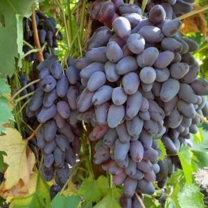 Виноград Кутузовский