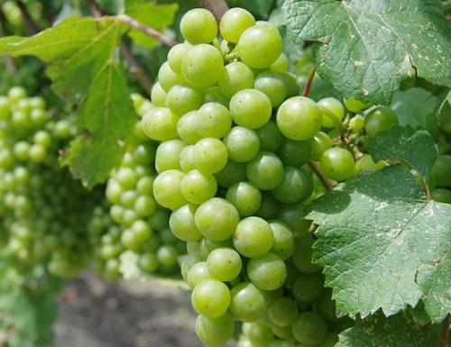 Виноград Онтарио (1)