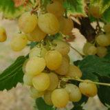Описание сорта винограда Онтарио
