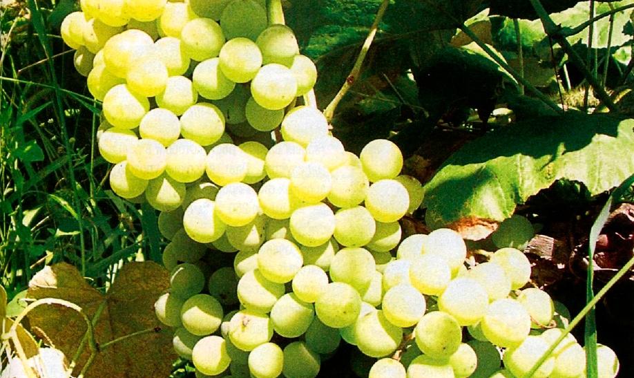 Сорт Винограда Онтарио