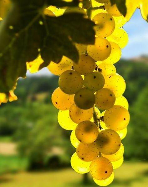 Золотистый виноград Онтарио