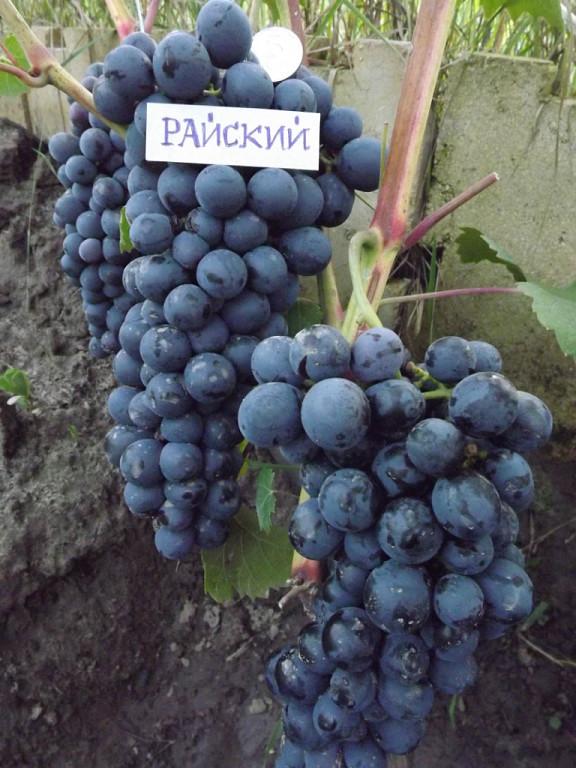 гроздь винограда Райский