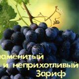 Виноград зариф