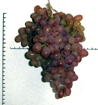 виноград кишмиш Аксайский