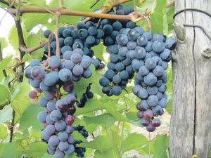 Левокумский виноград